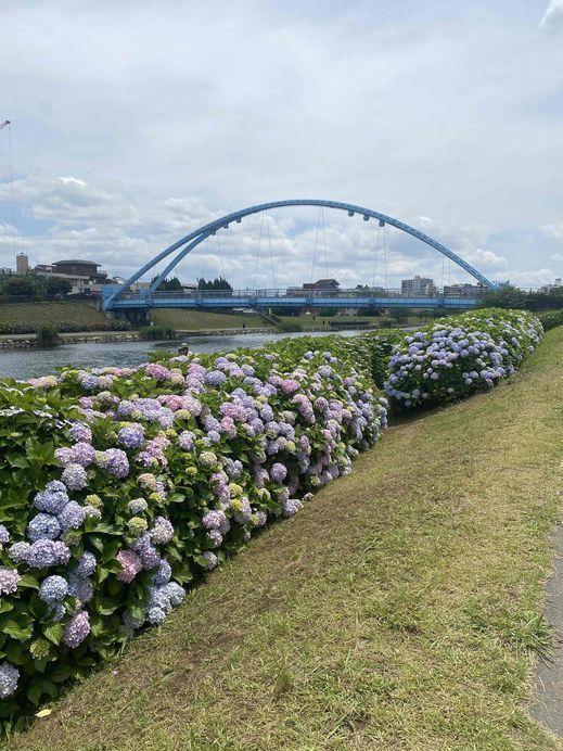 遊歩道からふれあい橋(あじさい).jpg
