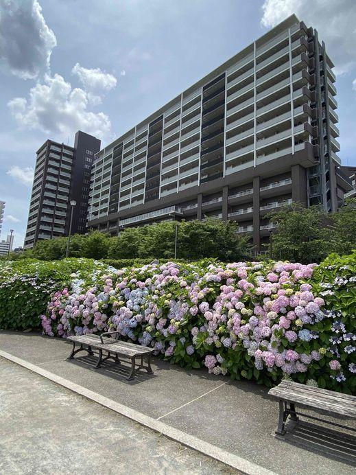 遊歩道から亀戸レジデンス(あじさい).jpg