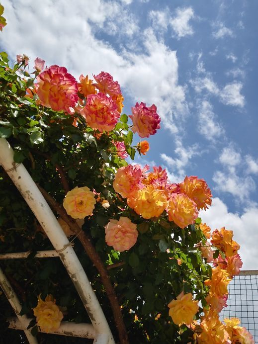 バラと空.jpg